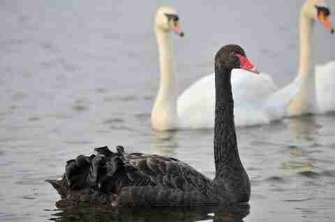 August 2019 Newsletter Black swan